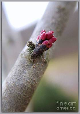 Photograph - Redbud Macro by Brenda Bostic