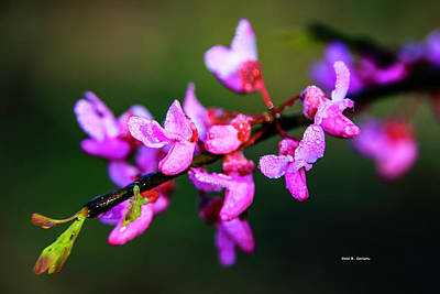 Photograph - Redbud Splendor by Dale R Carlson