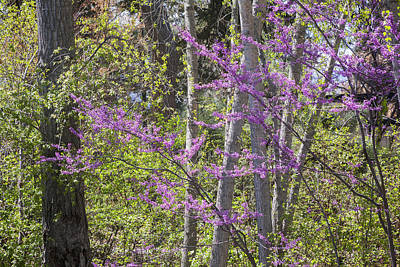 Photograph - Redbud Spring by Morris  McClung