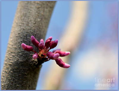 Photograph - Redbud Sprout by Brenda Bostic