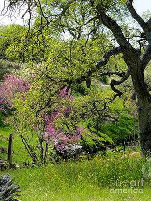 Photograph - Redbud Tree And Oak by Phyllis Kaltenbach