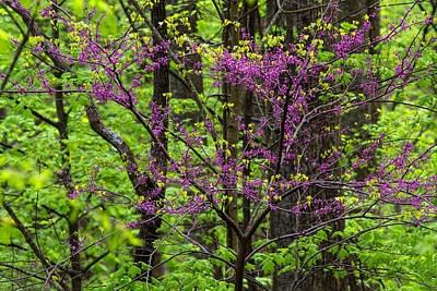 Photograph - Redbud Tree In Spring Bloom by Stefan Mazzola