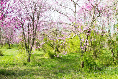 Photograph - Redbud Trees 2 by Chris Scroggins