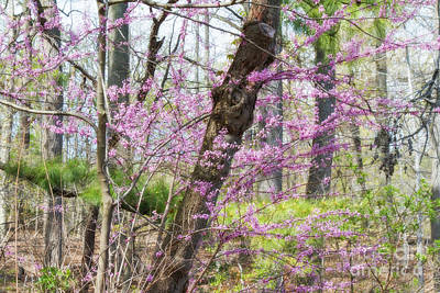 Photograph - Redbud Trees 3 by Chris Scroggins