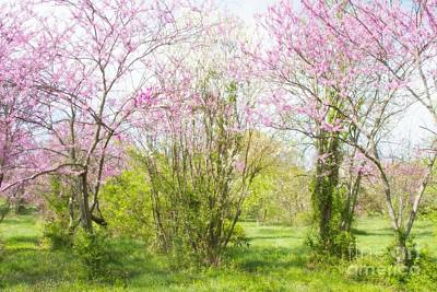 Photograph - Redbud Trees 4 by Chris Scroggins