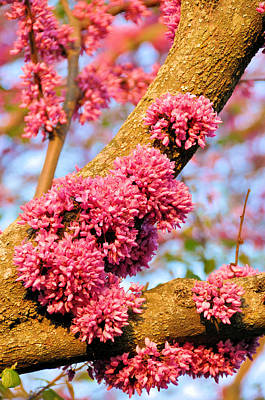 Redbud Trunk Blooms Print by Jan Amiss Photography