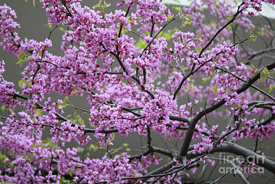 Cercis Canadensis Photograph - Redbuds Forever by Carol Groenen
