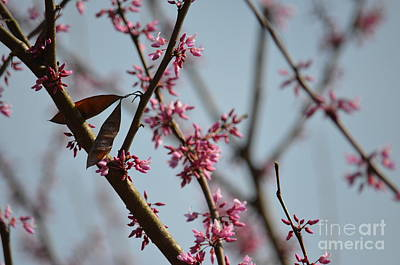 Photograph - Redbuds In Spring 2 by Maria Urso