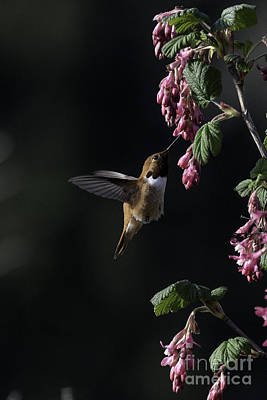 Tim Moore Photograph - Redcurrant Rufous by Moore Northwest Images
