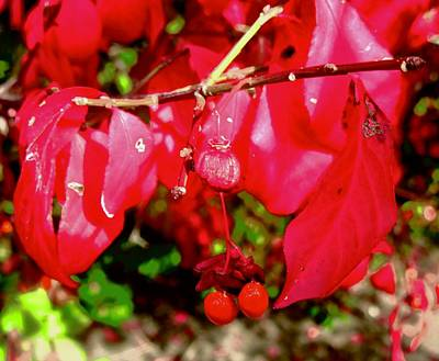 Photograph - Redder Than Red by Stephanie Moore