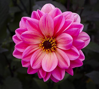 Photograph - Reddish Dahlia by Ken Barrett