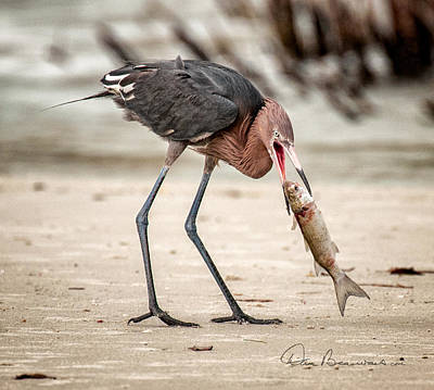 Dan Beauvais Royalty-Free and Rights-Managed Images - Reddish Egret 1800 by Dan Beauvais