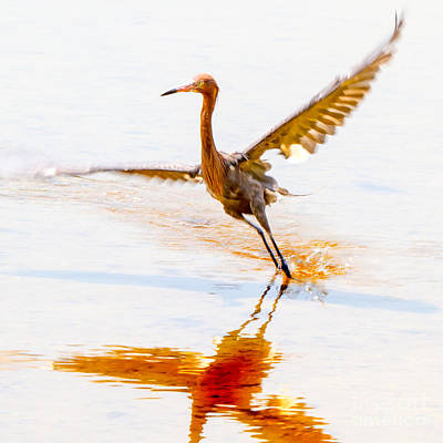 Custom Photograph - Reddish Egret Collection 6  by J Darrell Hutto