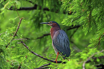 Photograph - Green Heron At Florida Boynton Beach Wakodahatchee Wetlands by Juergen Roth