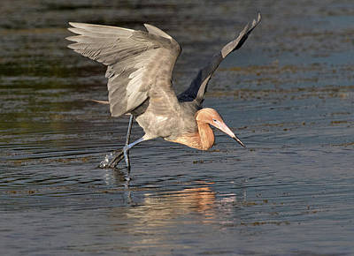 Photograph - Reddish Egret Fishing by Art Cole