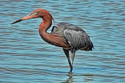 Photograph - Reddish Egret Fishing by HH Photography of Florida