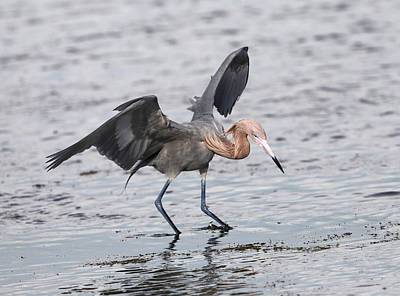 Photograph - Reddish Egret Fishing by Jack Nevitt