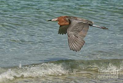 Photograph - Reddish Egret Flight by Myrna Bradshaw