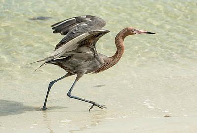 Photograph - Reddish Egret by Gordon Ripley