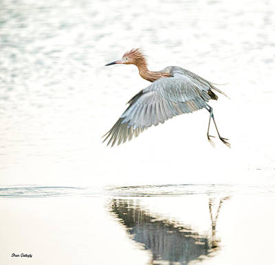 Photograph - Reddish Egret In Flight by Fran Gallogly