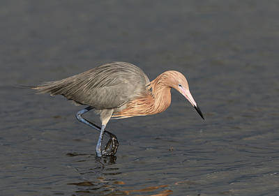 Photograph - Reddish Egret  by Jack Nevitt
