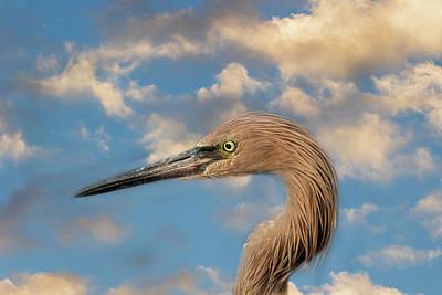 Photograph - Reddish Egret by Kim Hojnacki