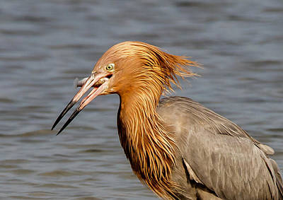 Photograph - Reddish Egret Likes Fish by Phil Stone