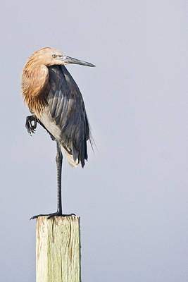 Art Print featuring the photograph Reddish Egret On Piling by Bob Decker