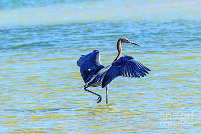 Photograph - Reddish Egret On The Hunt by Ben Graham
