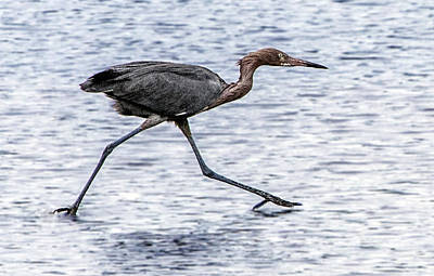 Photograph - Reddish Egret On The Run by William Bitman