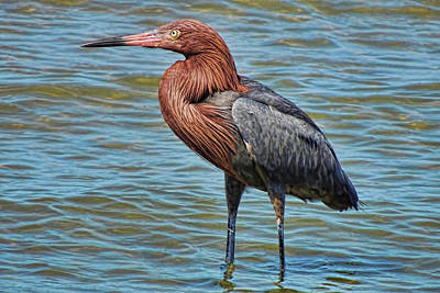 Photograph - Reddish Egret Posing by HH Photography of Florida