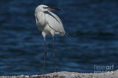 Photograph - Reddish Egret - White Form by Meg Rousher