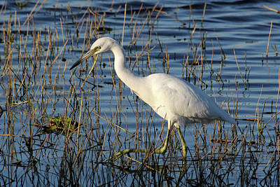 Photograph - Reddish Egret White Morph by HH Photography of Florida