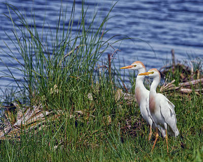 Colorful Photograph - Cattle Egrets by Rick Higgins