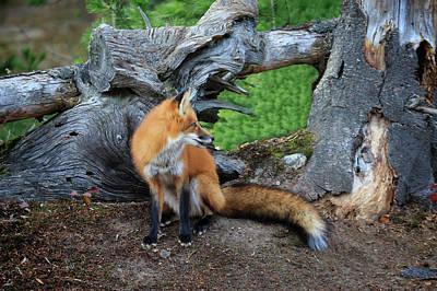 Photograph - Reddy Fox by Gary Hall