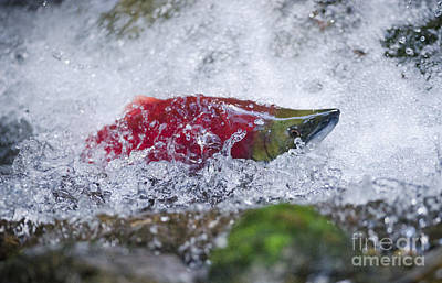 Kokanee Salmon Photograph - Redfish  by Joy McAdams