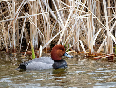 Photograph - Redhead Duck by Michael Chatt