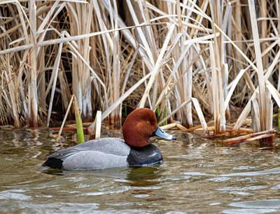 Photograph - Redhead Duck by Michael Chatt