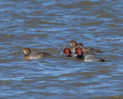 Photograph - Redhead Ducks Dwf0136 by Gerry Gantt