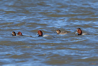 Photograph - Redhead Ducks Dwf0138 by Gerry Gantt