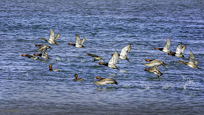 Photograph - Redhead Ducks In Flight by LeeAnn McLaneGoetz McLaneGoetzStudioLLCcom