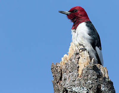 Photograph - Top Red-headed Woodpecker by Art Cole