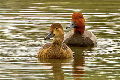 Photograph - Redheads, Pair by Craig Strand