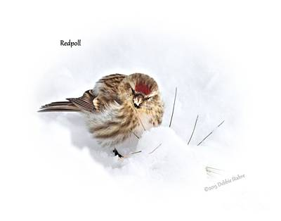 Photograph - Redpoll by Debbie Stahre