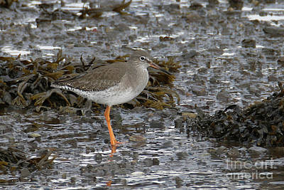 Photograph - Redshank by Terri Waters