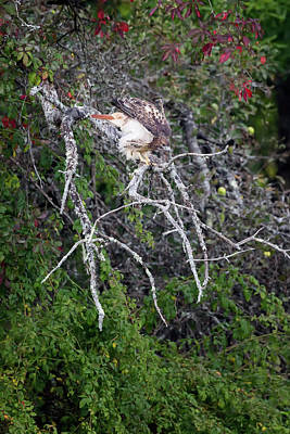 Photograph - Redtail Hawk 092017 by Bill Wakeley