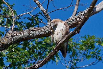 Photograph - Redtail Hawk 6809 by Michael Peychich