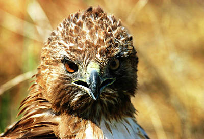 Photograph - Redtail Hawk by Anthony Jones