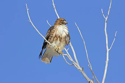Photograph - Redtail Hawk Waiting by Jennie Marie Schell