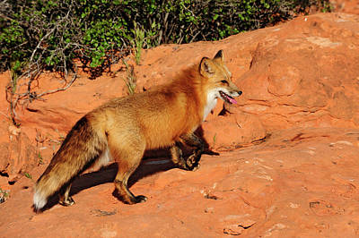 Redtailed Fox Art Print by Dennis Hammer